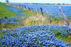 photo of bluebonnet